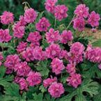 Double-bloom geraniums differ from single-layer varieties thanks to ...