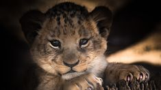 A cute lion baby (cub) wallpaper. Cute Animals With Funny Captions, Cute Animals Puppies, Cute Baby Animals, Cubs Wallpaper, 1080p Wallpaper, Sarra Art, Baby Cubs, Baby Dolphins, Cute Lion