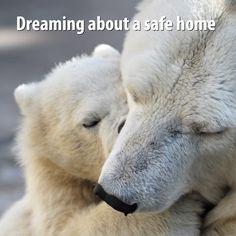 Buy Little polar bear cub playing with his mom by sergeyskleznev on PhotoDune. Little polar bear cub playing with his mom Animals And Pets, Baby Animals, Cute Animals, Wild Animals, Baby Giraffes, Nature Animals, Funny Animals, Beautiful Creatures, Animals Beautiful