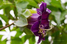 Serleglonc (Cobaea scandens) gondozása, szaporítása Exotic Flowers, Beautiful Flowers, Pergola, Plant Leaves, Pastel, Backyard Ideas, Plants, Gardening, Flowers