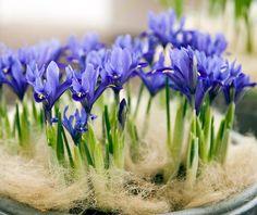 Yndige iris i potte. Sæt mange sammen i en skålformet potte. Dekorer med mos eller fehår.