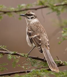 LONG-TAILED MOCKINGBIRD - Mimus longicaudatus -<br /> Isla de la Plata, 9…