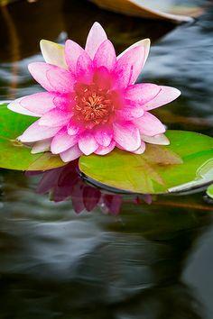lotus, espelhos d'água!!! Amo.