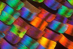 Linden Gledhill photographie des ailes de papillons en macro de façon à dévoiler les écailles colorées qui les composes.