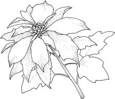 Poinsettia Christamas Flower coloring page from Poinsettia category. Select from 20946 printable crafts of cartoons, nature, animals, Bible and many more.