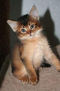 Ruddy Somali Cat. So beautiful!