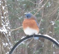 Bluebird in Sutton MA