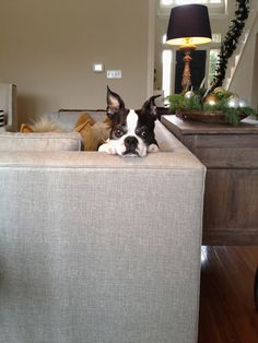 Boston Terrier on a couch. Pekoe wishes he could get on our couch. And probably does when we're not home.