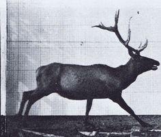 Eadweard Muybridge, Animal locomotion, Plate 695, Elk
