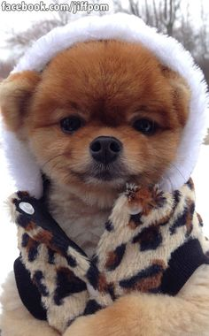 #Boo #Winter Bundling up for future snowball fights. | 17 Ways Jiff The Pomeranian Celebrated The Holidays