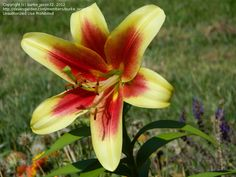 O.T. Hybrid Lily 'Sweetheart'