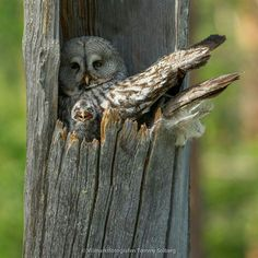 Owl on nest with chick