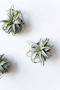 Looking for a unique houseplant, try an air plant.  We love Xerographica (variety pictured) air plants for their size, color, and interesting texture.
