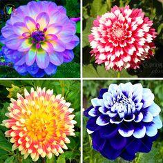 Dahlia flower Mixed Colors Dahlias Seeds For DIY Home Garden  - Perennial Seeds