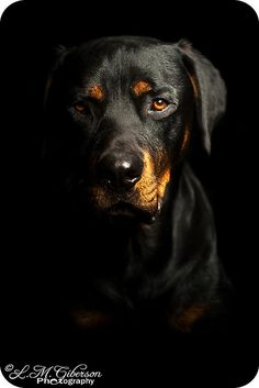 When I get my house.. this will be my next dog. Can't wait! Rottie
