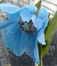 Alaska Botanical Garden e-mail list (shown: Himalayan Blue Poppy)
