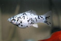Dalmatian Molly [I prefer to raise my own feeder fish to avoid the various diseases and parasites found in store bought feeder fish. I stick with liverbearers as modern hybrids are easy to get your hands on and come from tiny sizes of guppies/Endlers up to 6in swordtails. A mixed group of Black Mollies and Dalmation mollies are a personal favorite, and being more salt tolerant are an excellent food for brackish species.]
