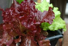 tips for growing lettuce in containers