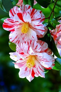 Top 15 Most Beautiful Camellia Flowers                                                                                                                                                                                 More
