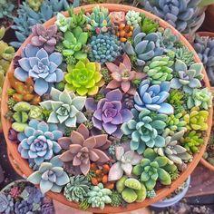 Types Of Succulents, Colorful Succulents, Cacti And Succulents, Planting Succulents, Cactus Plants, Succulent Bowls, Succulent Arrangements, Succulent Terrarium, Succulent Centerpieces