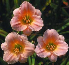 """BLYTHE BELLE 3"""" bloom 9.99"""