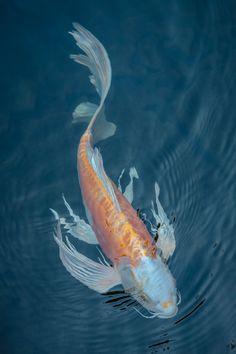 Koi fish in a pond Pretty Fish, Beautiful Fish, Koi Art, Fish Art, Koi Kunst, Koy Fish, Cosplay Steampunk, Butterfly Koi, Koi Painting