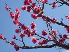Sakura by Renie A. Japan Sakura, Japanese Gardens, Flower Photos, Image Photography, Flowers, Royal Icing Flowers, Flower, Japan Garden, Florals