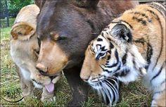 Um urso, leão e um tigre viver junto como irmão nos ultimos 15 anos >> http://omascote.com.br/03/um-urso-leao-e-um-tigre-viver-junto-como-irmao-nos-ultimos-15-anos/