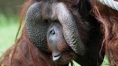 orang oetan .....Amazing head