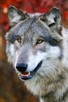 "beautiful-wildlife: ""Wolf by © julian lujan "" Beautiful Wolves, Animals Beautiful, Cute Animals, Wolf Husky, Wolf Pup, Wolf Images, Wolf Photos, Wolf Spirit, Spirit Animal"