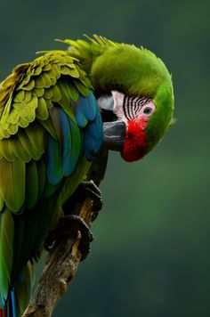 Parrot, Bird, Colorful, Plumage, Green, Branch, Portrait, Head, Wild, Photography