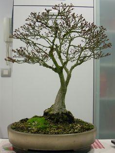 El paso de los años en los bonsais: Arce palmatum kashima