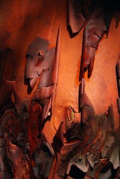 Red bark of the Arbutus tree, Ruckle provincial park, Salt Spring Island, Southern Gulf. Scotland.