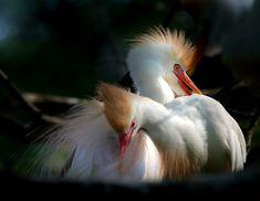 Cattle egret couple - zoltán kovács - Google+