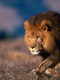 Big Cats Art, Cat Art, Animals And Pets, Cute Animals, Lions Photos, Lion Pictures, Jesus Art, African Animals, Predator