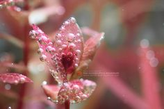 """""""It's fall soon so the red leaves fit perfectly! Plant is rotala macrandra. Freshwater Aquarium Plants, Planted Aquarium, Red Plants, Danish Style, Red Leaves, Aquatic Plants, Fresh Water, Creations, Aquascaping"""