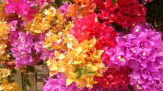 Just some of the many colours that Bougainvillea enhances our world with