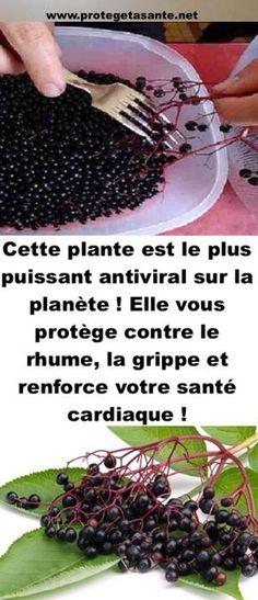 Cette plante est le plus puissant antiviral sur la planète ! Elle vous protège contre le rhume, la grippe et renforce votre santé cardiaque !