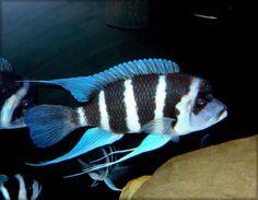 Over members talking cichlids Cichlid Aquarium, Fish Aquariums, Aquarium Fish, Malawi Cichlids, African Cichlids, Tropical Aquarium, Tropical Fish, Lake Tanganyika, Tropical Freshwater Fish