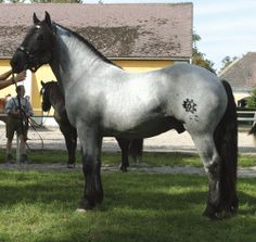 Merlin Nero XV, blue roan Noriker stallion. Pferdezucht-Austria.