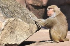 Monkey percussion rocks