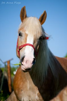 Pretty Haflinger horse - Horses