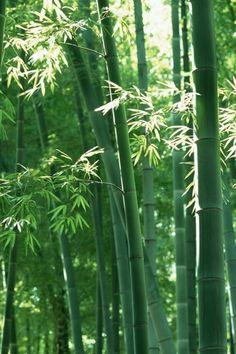 32 Best Bamboo Tree Images Bamboo Tree Bamboo Bamboo Garden
