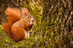 Red squirrel with nuts. © Neil Burton/Getty Pine Marten, Cairngorms, Red Squirrel, Animal Facts, In The Tree, Rodents, Make It Through, Red And Grey, Nature Pictures