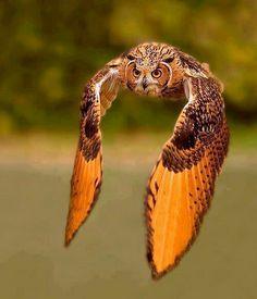 Love birds of prey. So amazing Wow Photo, Photo Animaliere, Beautiful Owl, Animals Beautiful, Cute Animals, Funny Animals, Great Horned Owl, Owl Bird, Tier Fotos