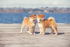 Take this Shiba Inu pup to the snowy mountains, and you may be asked if you adopted a tiny polar bear cub. Description from sheknows.com. I searched for this on bing.com/images