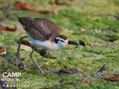 #DidYouKnow that Northern Jacanas' massive feet allow them to walk across floating vegetation? Occasionally, one mistakes them for being able to walk on water!