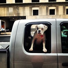 Puppy boxer dog in the city. White boxer puppy. #pinky #pinkyswearfarm