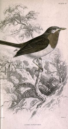 Robin Flycatcher      ...