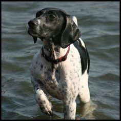 Did someone say fetch?! This energetic German shorthaired pointer is a pretty great adventure dog!